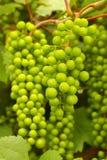 葡萄树红色成熟 免版税库存照片