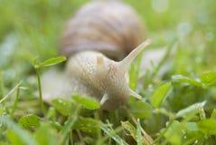 葡萄树蜗牛 免版税库存照片
