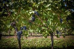 葡萄树行与成熟束的红葡萄酒 免版税库存图片