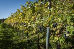 葡萄树行与束的红葡萄酒 免版税库存照片