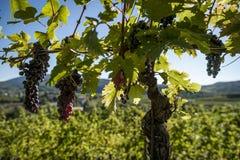 葡萄树行与束的红葡萄酒 库存照片