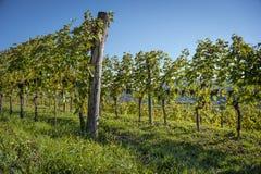 葡萄树行与束的红葡萄酒 免版税库存图片