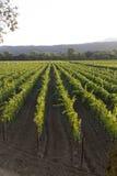 葡萄树行和行在葡萄园里 免版税图库摄影