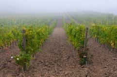 葡萄树行在葡萄园在日出下,托斯卡纳,意大利的 免版税库存照片