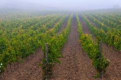 葡萄树行在葡萄园在日出下,托斯卡纳,意大利的 免版税图库摄影