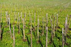 葡萄树行在葡萄园的在春天, Chianti,托斯卡纳,意大利 库存照片