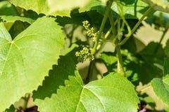 葡萄树这时开发许多康科德紫葡萄 库存照片