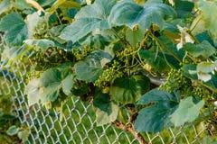 葡萄树这时开发许多康科德紫葡萄 免版税库存图片
