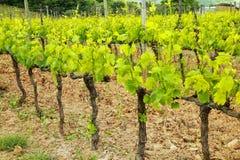 葡萄树, Val d ` Orcia,托斯卡纳,意大利行在蒙达奇诺附近的 库存照片