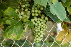 葡萄树仍然开发许多康科德紫葡萄 图库摄影