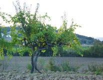 葡萄树& x28; 葡萄属vinicfera& x29;在托斯卡纳 免版税图库摄影