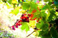 葡萄树 免版税图库摄影