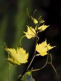 葡萄树 免版税库存图片