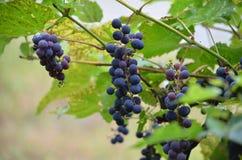 葡萄树 库存图片