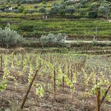 葡萄栽培在葡萄牙 免版税库存图片
