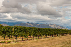 葡萄栽培行在葡萄园里 免版税库存照片