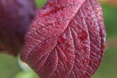 葡萄栽培酒业 雨水下落在绿色葡萄叶子的在葡萄园 免版税图库摄影