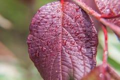 葡萄栽培酒业 雨水下落在绿色葡萄叶子的在葡萄园 免版税库存照片
