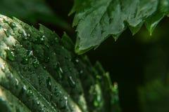 葡萄栽培酒业 雨水下落在绿色葡萄叶子的在葡萄园 免版税库存图片