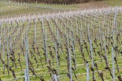 葡萄栽培风景 免版税库存照片