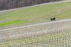 葡萄栽培风景 库存图片