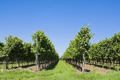 葡萄栽培 库存图片