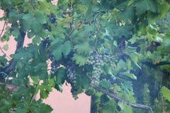 葡萄灌木 免版税库存照片