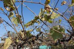 葡萄照片离开背景,秋天在收获季节以后 种田自然,秋季葡萄分支 免版税库存照片