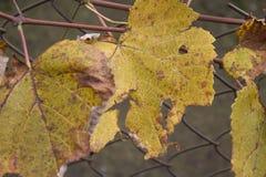 葡萄照片离开背景,秋天在收获季节以后 库存照片