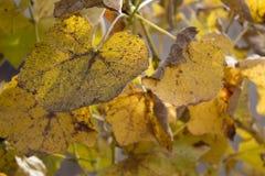 葡萄照片离开背景,黄色叶子接近在葡萄园里 图库摄影