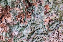 葡萄牙栓皮栎 免版税库存图片
