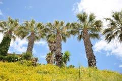 葡萄牙棕榈 图库摄影
