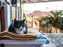 葡萄牙猫 图库摄影