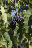 葡萄现有量例证标记我的原来的被绘的适当的葡萄园酒 库存照片