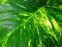 葡萄球菌的马来西亚绿萝,常绿藤本植物aureum, iIvy恶魔的` s,猎人` s抢夺 库存图片