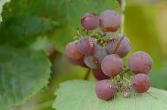 葡萄甜莓果 库存照片