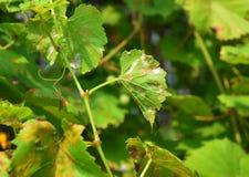 葡萄白粉菌 白粉菌是影响各种各样的植物的一种霉菌疾病 葡萄树疾病 库存图片