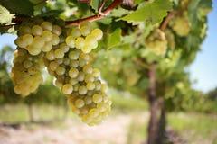 葡萄白葡萄酒 图库摄影