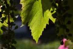 葡萄的绿色叶子由太阳` s背后照明的光芒照亮 图库摄影