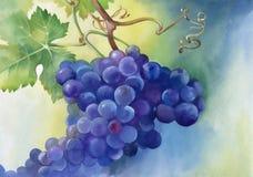 葡萄的水彩例证与叶子的 免版税图库摄影