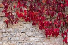 葡萄秋叶在砖墙上的 免版税库存图片