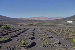 葡萄种植兼葡萄酿酒业在兰萨罗特岛,加那利群岛海岛上的La杰里亚  免版税库存照片