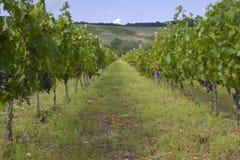 葡萄种植园 免版税库存照片