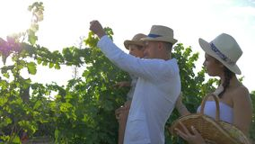 葡萄种植者种田,家庭有小儿子的和篮子到手里在葡萄园收获 影视素材