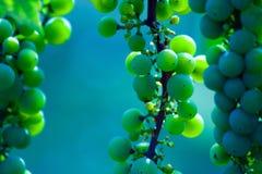 葡萄绿色叶子酒 免版税库存照片