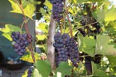葡萄群在一个环境友好的葡萄园里 免版税库存图片