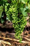 葡萄群特写镜头在葡萄树Vranec的在起点阶段 免版税库存图片