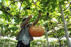 葡萄花匠 库存照片