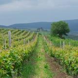 葡萄葡萄园在特兰西瓦尼亚,罗马尼亚 免版税库存图片