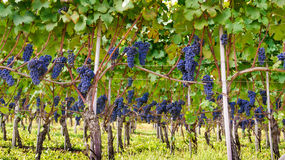 葡萄葡萄葡萄 库存照片